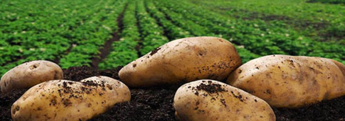 Съвети за картофи